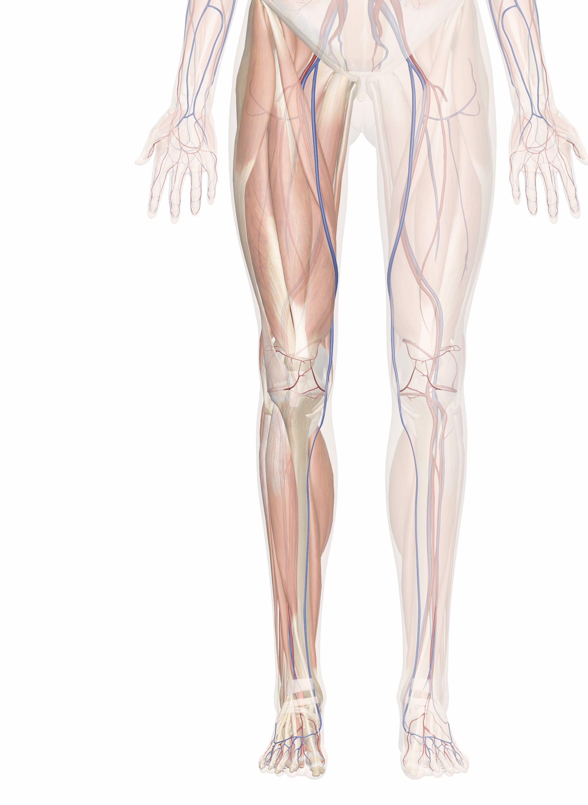 Leg Muscle Png - Cardiovascular System of the Leg and Foot