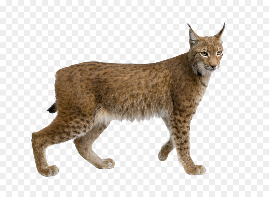 Lynx Cat Png - Cartoon Cat png download - 2048*1483 - Free Transparent Eurasian ...
