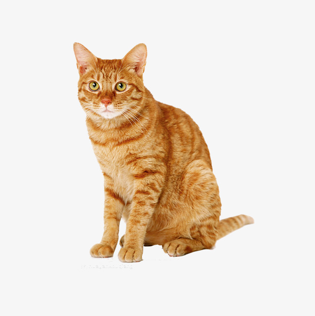 Yellow Cat Png - cat, Cat Clipart, House Cat PNG Image and Clipart