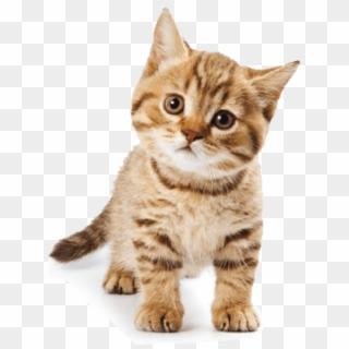 Png Cat - Cat PNG Transparent For Free Download - PngFind