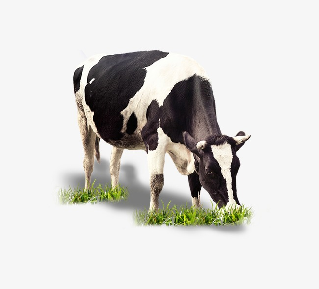 Grazing Cow Png - cattle graze, Dairy, Cattle PNG and PSD