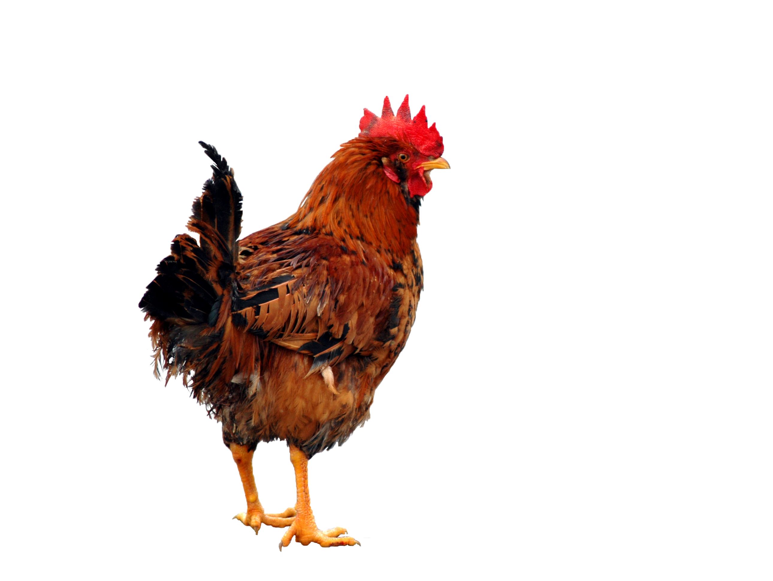 Chicken Png - Chicken PNG Clipart