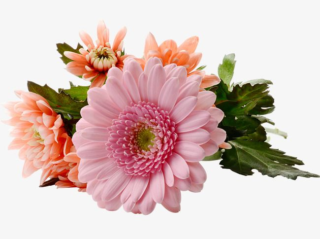 Pink Sunflowers Png - Chrysanthemum Gerbera, Chrysanthemum, Gerbera, Sunflower PNG ...
