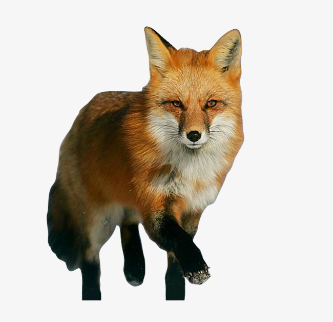Fox Png - clever fox, Fox, Red Fox, Animal PNG and PSD