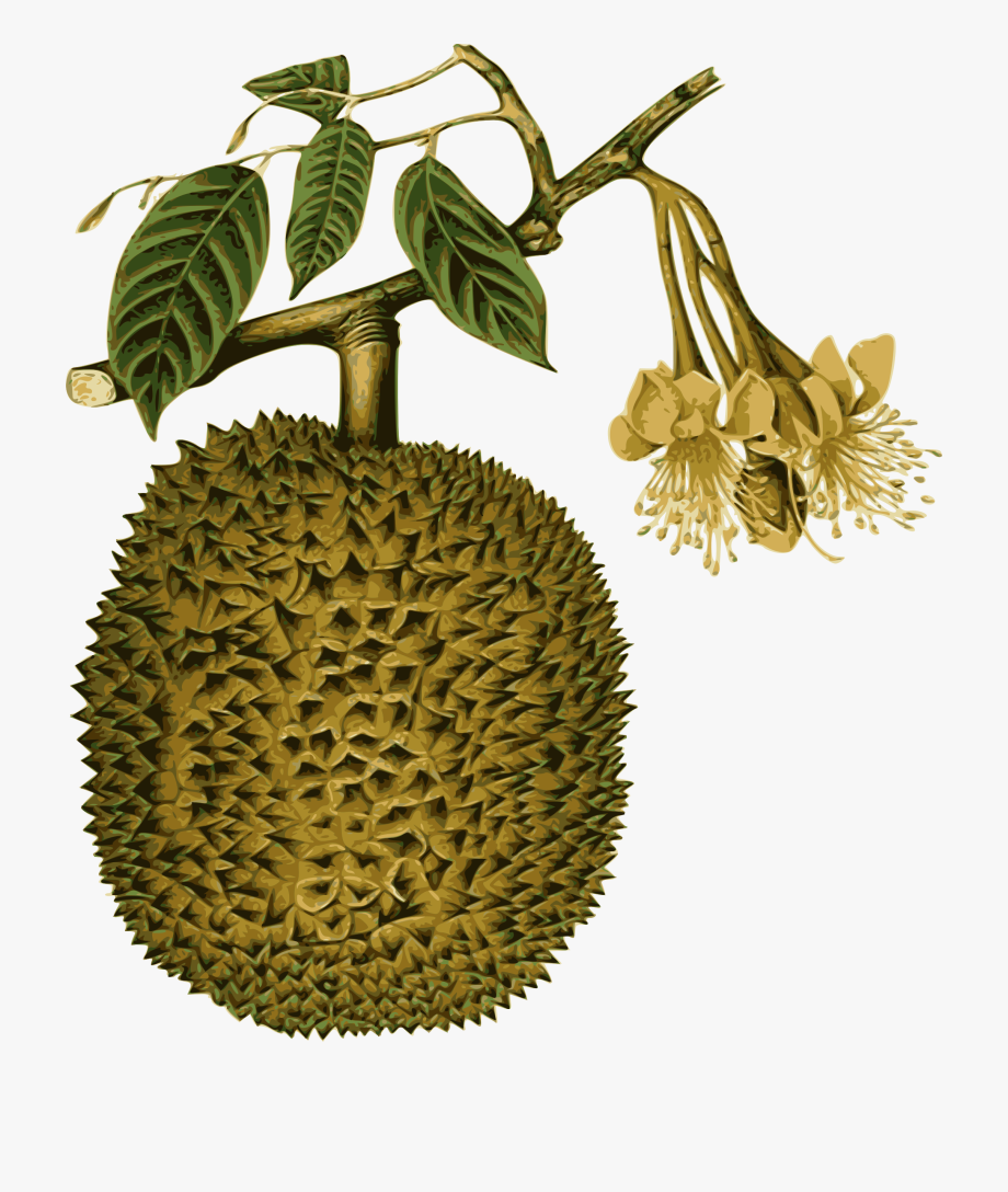 clipart big image png durian botanical 1578688 png images pngio clipart big image png durian