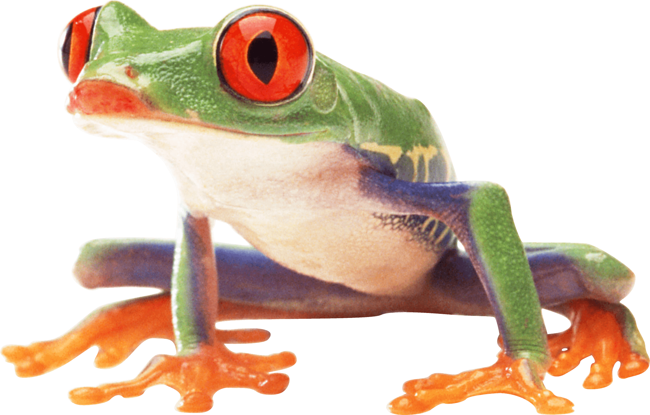 Frogs Png - Clown Frog Sideview transparent PNG - StickPNG