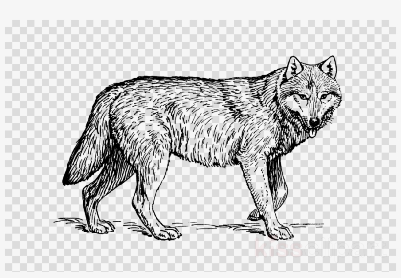 Realistic Wolf Coloring Pages Png & Free Realistic Wolf ...