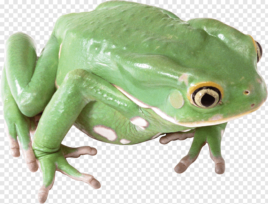 Common Green Frog Png - Common frog, frog free png   PNGFuel