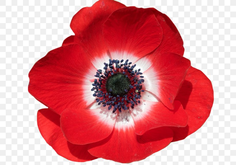Armistice Day Png - Common Poppy Flower In Flanders Fields Remembrance Poppy, PNG ...
