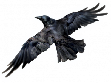 Raven Png - Common Raven PNG Photos