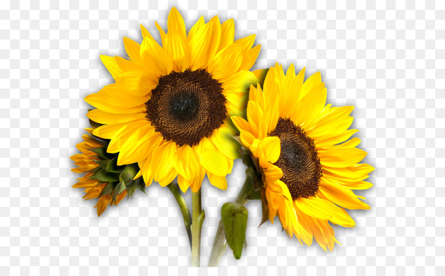 Common Sunflower Png - Common sunflower Clip art - Sunflowers PNG png download - 659*550 ...