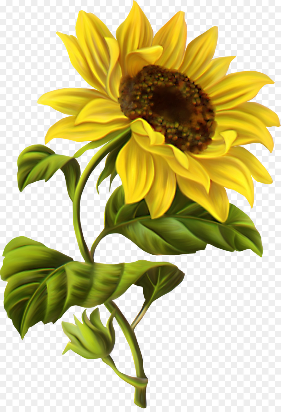 Common Sunflower Png - Common sunflower Drawing Botanical illustration Watercolor ...