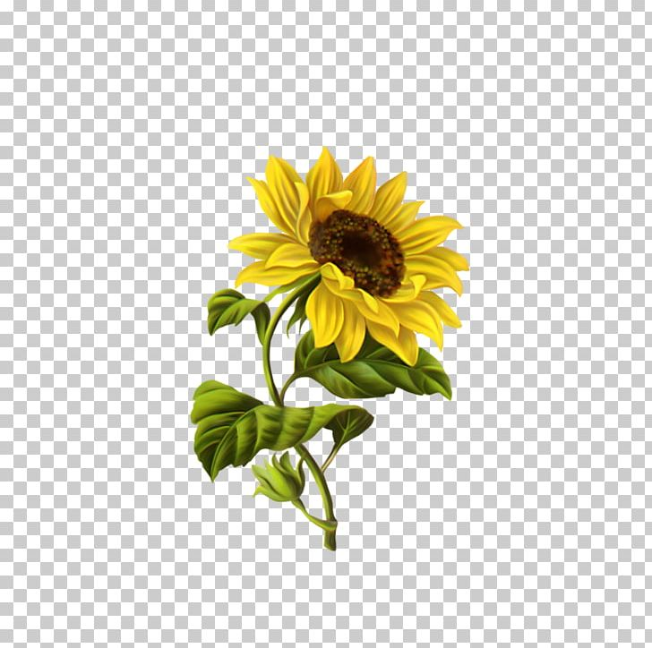 Sunflower Drawing Png - Common Sunflower Drawing Illustration PNG, Clipart, Art, Botanical ...