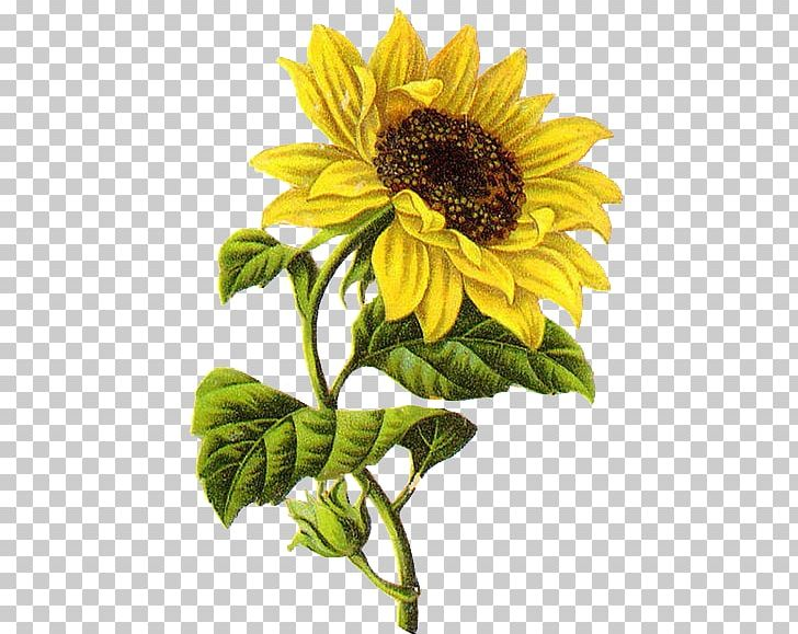Sunflower Drawing Png - Common Sunflower Drawing Sketch PNG, Clipart, Art, Botanical ...