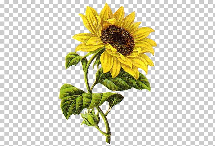 Sunflower Drawing Png - Common Sunflower Drawing Sketch PNG, Clipart, Art, Common ...