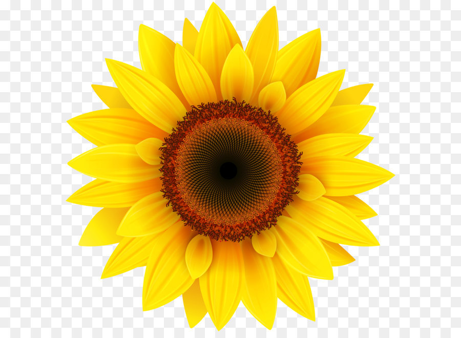 Common Sunflower Png - Common sunflower Pixel XCF - Sunflower PNG Clipart Picture png ...