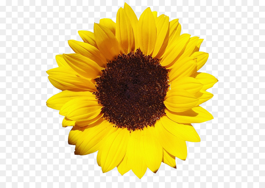 Common Sunflower Png - Common sunflower Pixel XCF - Sunflower PNG png download - 601*621 ...