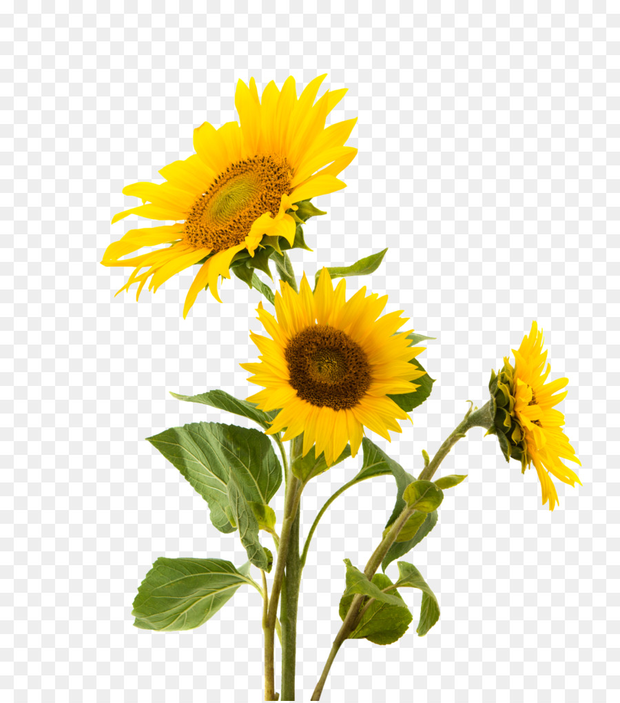 Sunflower Pngs - Common Sunflower Png & Free Common Sunflower.png Transparent ...
