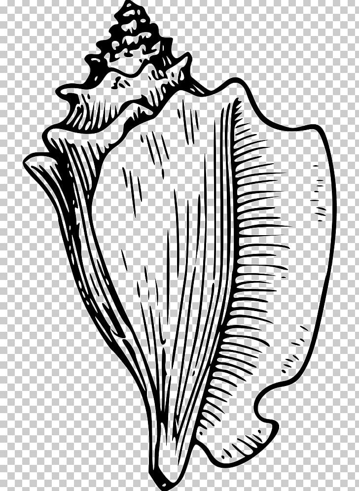Seashell Drawings Png - Conch Seashell Drawing PNG, Clipart, Art, Artwork, Black And White ...