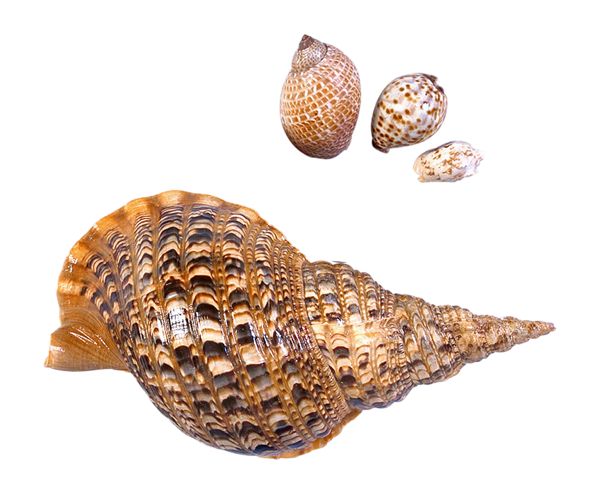 Cone Snails Png - Cone snail png, Picture #842601 cone snail png