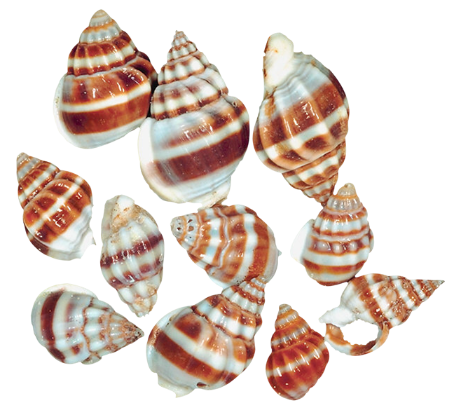 Cone Snails Png - Cone Snail Transparent & PNG Clipart Free Download - YAWD