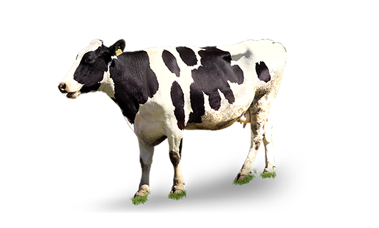 Cow Png - Cow bulk PNG images