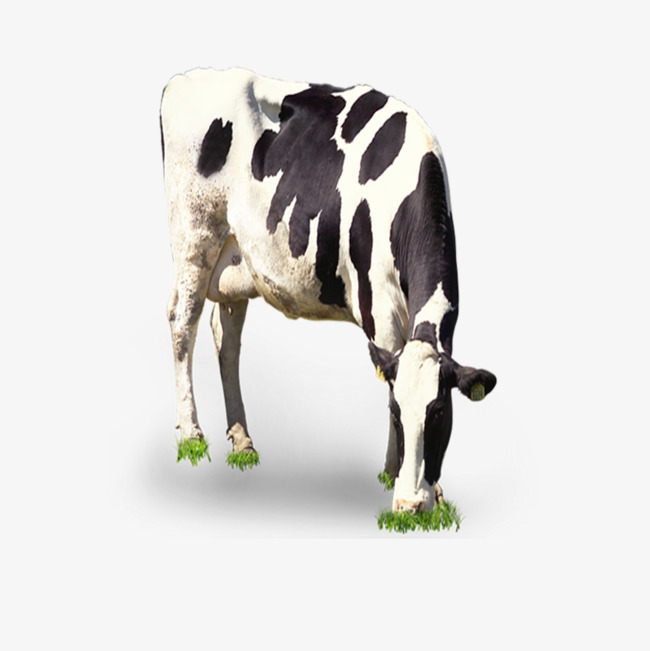Grazing Cow Png - cow grazing, Cow Clipart, Dairy Cow, Black And White PNG Image and Clipart