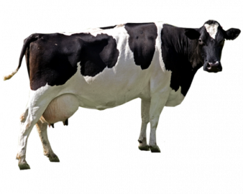 Cow Png - Cow PNG File