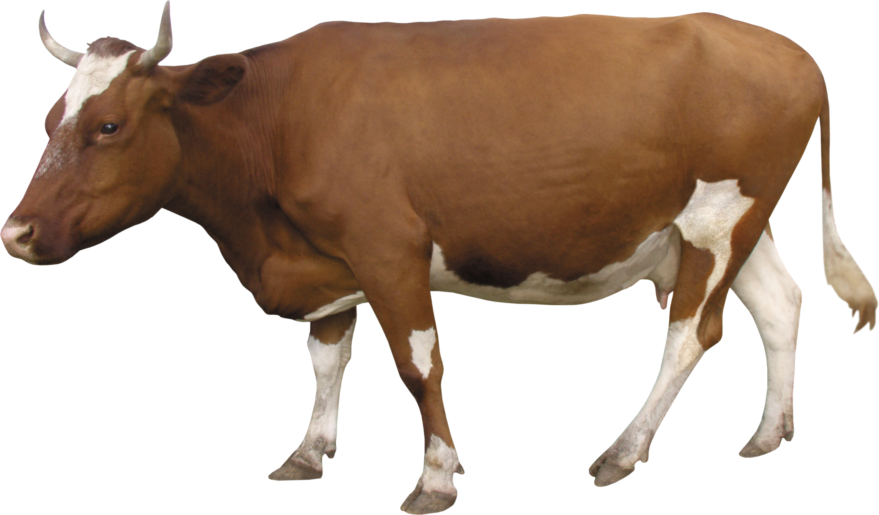 Indian Cow Png Images - cow PNG