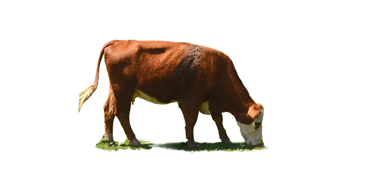 Grazing Cow Png - Cow PNG Stock Photo