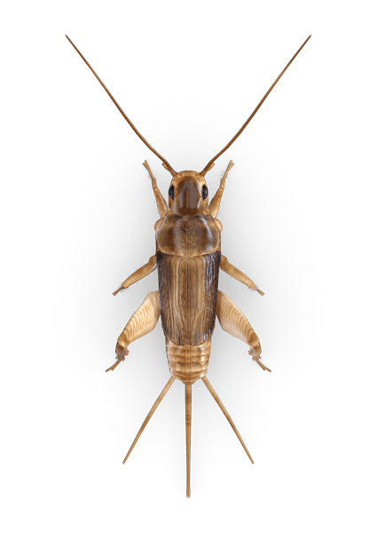 Cricket Insect Png - Cricket Insect Free Download PNG