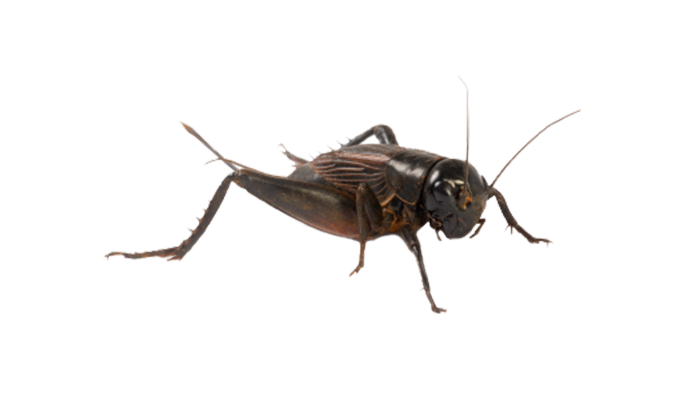 Cricket Insect Png - Cricket Transparent png image