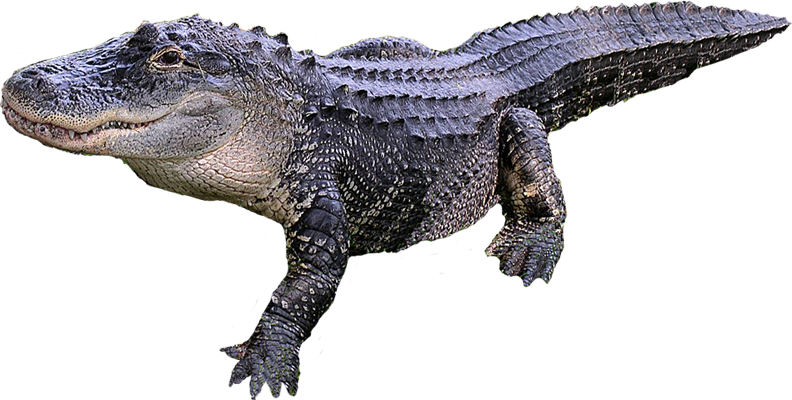 Alligators Png - Crocodile PNG