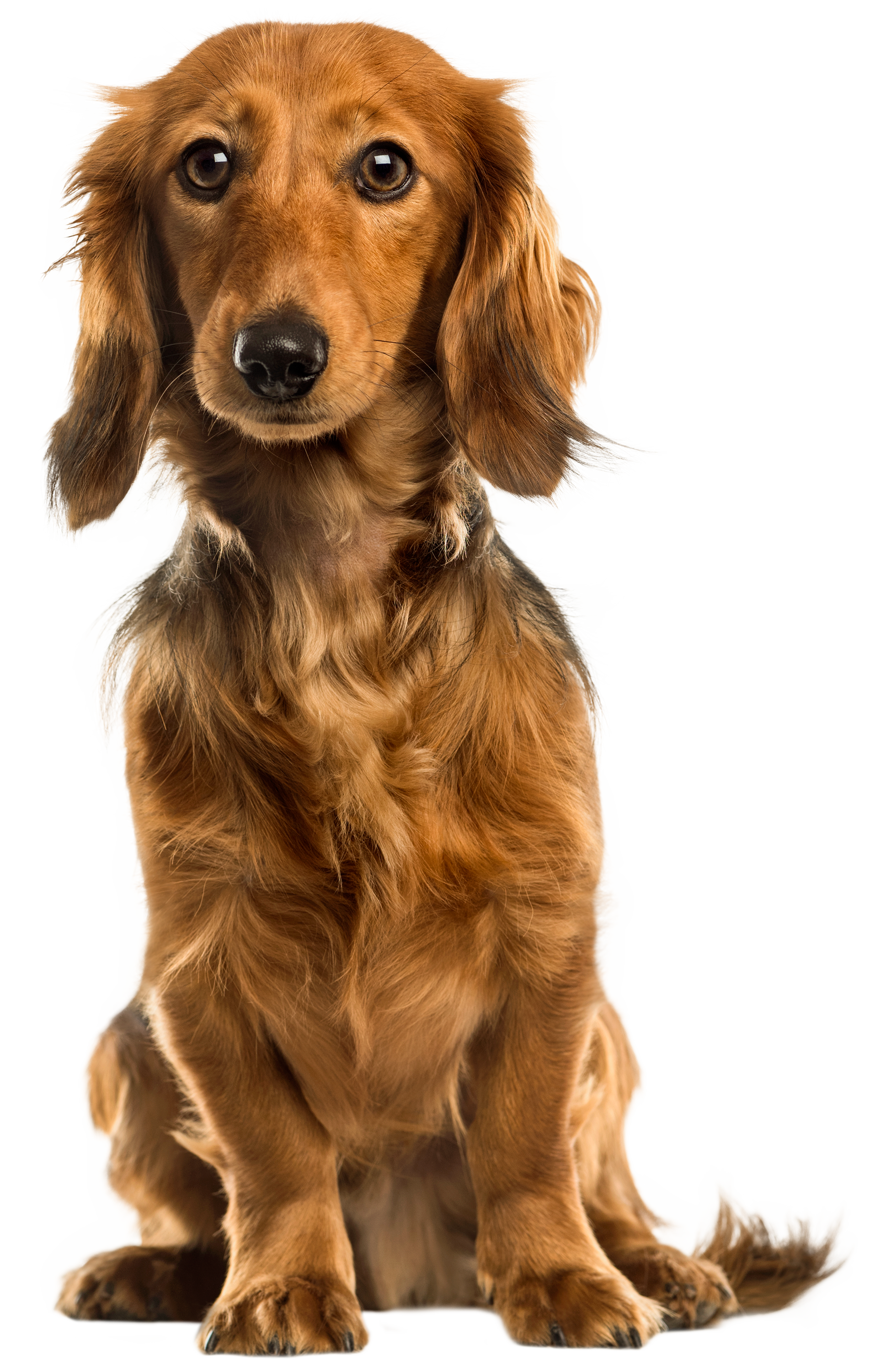 Dog Png - Cute Dog PNG Clip Art