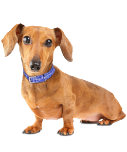 Sausage Dog Png - Dachshund Dog PNG Transparent Dachshund Dog.PNG Images. | PlusPNG