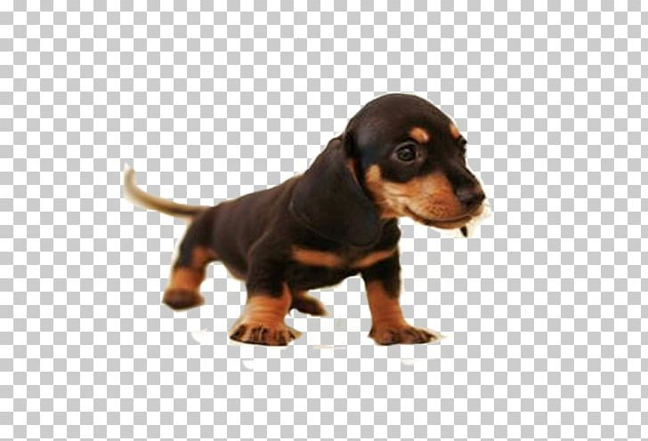 Sausage Dog Png - Dachshund Great Dane Beagle Harrier Puppy PNG, Clipart, Beagle ...