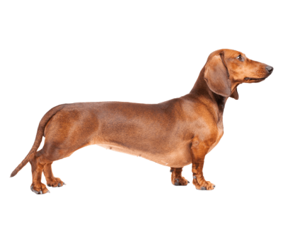 Sausage Dog Png - dachshund PNG and vectors for Free Download- DLPNG.com