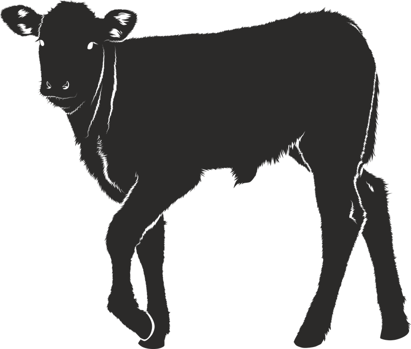 Cow Silhouette 1png - Dairy cattle Calf Ox Silhouette - Silhouette png download - 847 ...
