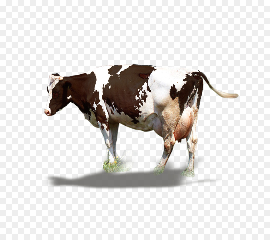 Fat Cow Png - Dairy cattle Milk Ox - A fat cow