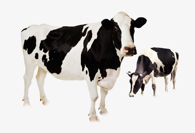 Holstein Cow Png - Dairy Cow, Cow Clipart, Dairy Cattle Breed PNG Image and Clipart ...