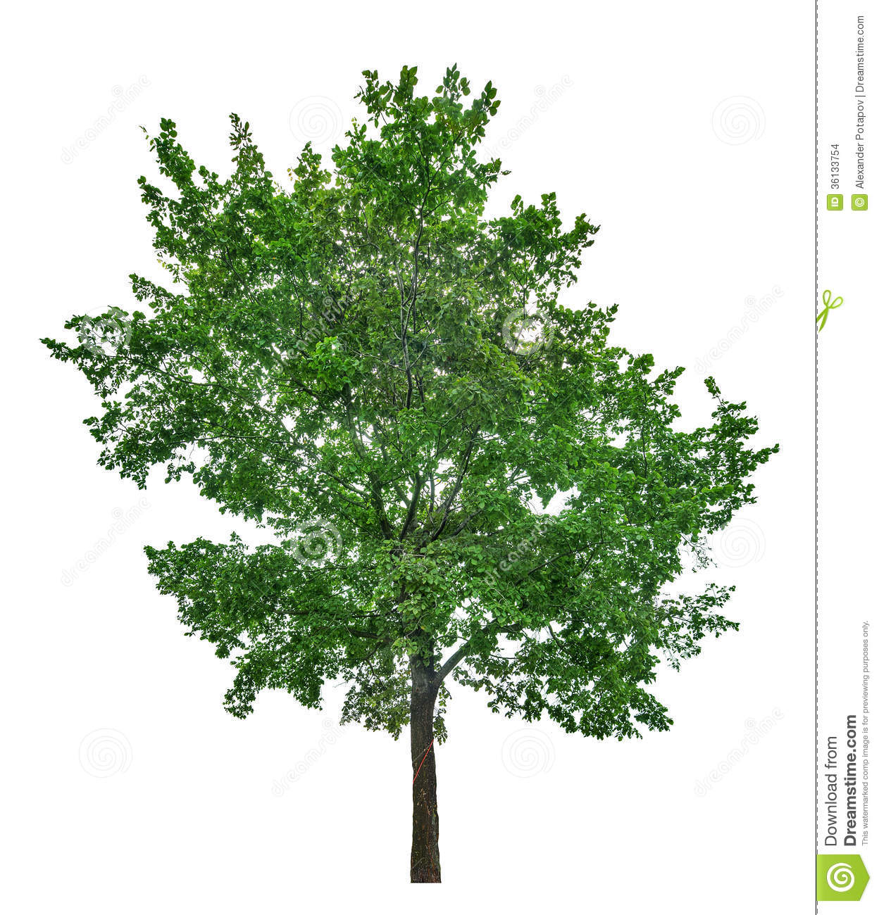 Lime Tree Png - Dark Green Large Lime Tree Isolated On White Stock Photo 36133754 ...
