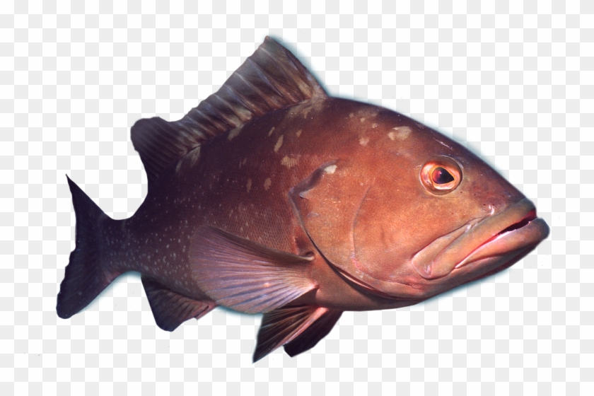 Deep Sea Fish Png - Deep Sea Grouper Fishing Charters - Deep Sea Fish Png, Transparent ...