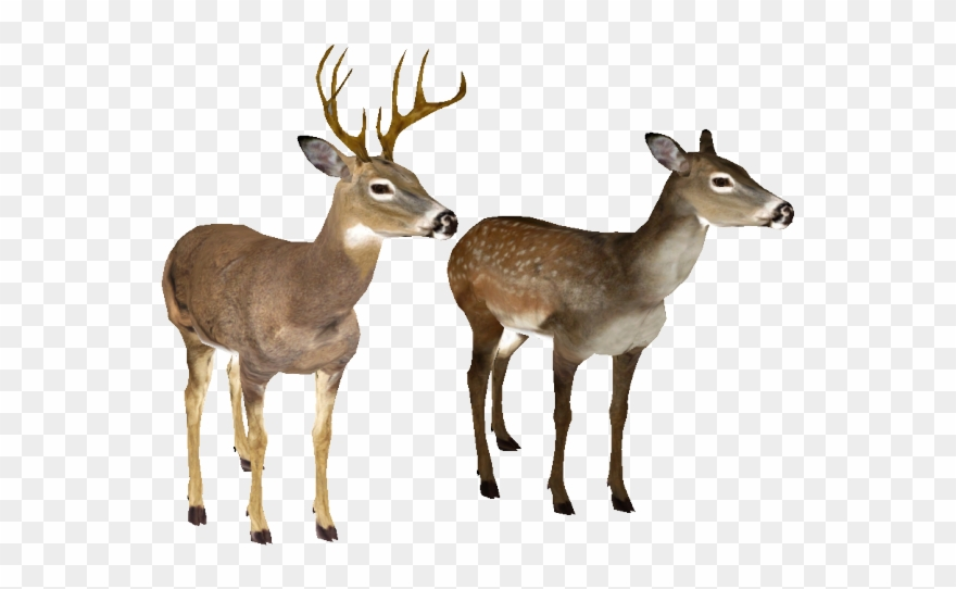Whitetail Deer Png - Deer Clipart Transparent Background - White Tailed Deer White ...