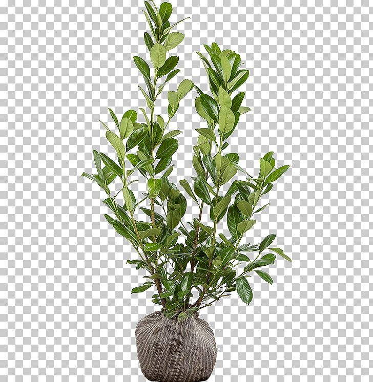 Dendrobium Nobile Png - Dendrobium Nobile Flowerpot Huoshan County 鐵皮石斛 苏宁易购 PNG ...