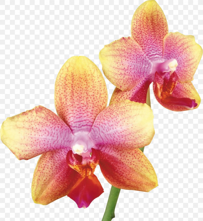 Dendrobium Nobile Png - Dendrobium Nobile Moth Orchids Stock Photography Yellow, PNG ...