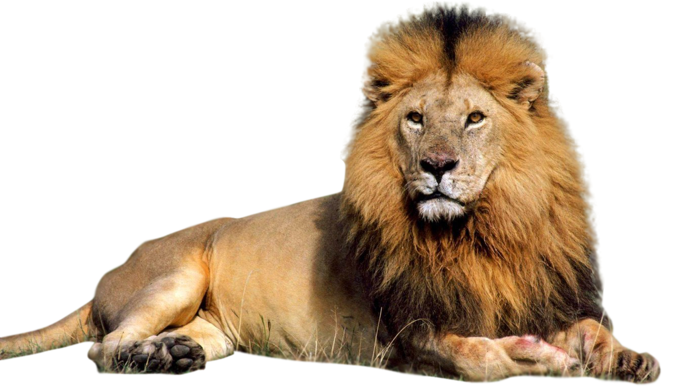 Lion Laying Down Png - Different Types Of Lions