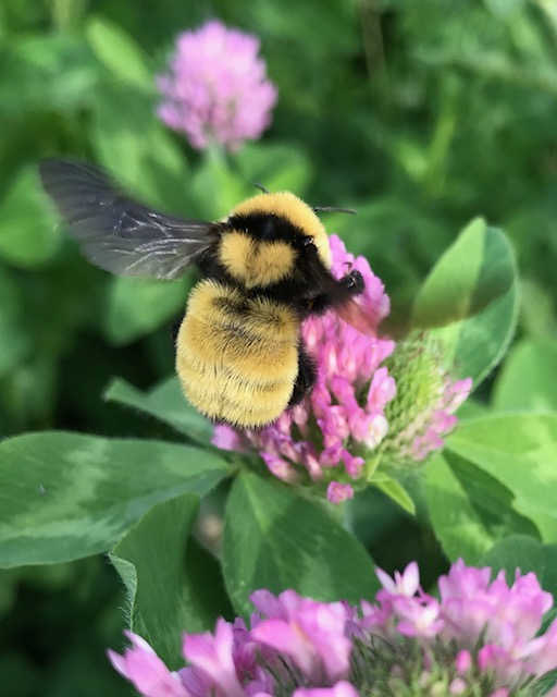 Golden Northern Bumble Bee Png - Do You Love Bees? A Practical Guide for Implementing Pollinator ...