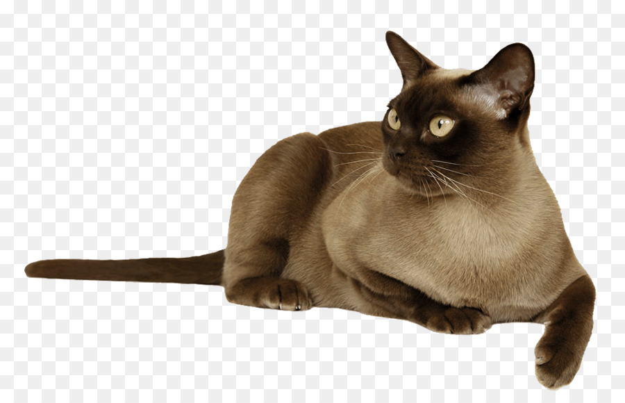 Burmese Png - Dog And Cat png download - 1000*640 - Free Transparent Burmese Cat ...