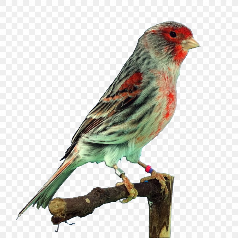 House Finch Png - Domestic Canary Finches House Finch Saffron Finch Bird, PNG ...