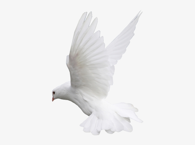 Colombe Png - Dove - Colombe Png PNG Image   Transparent PNG Free Download on ...